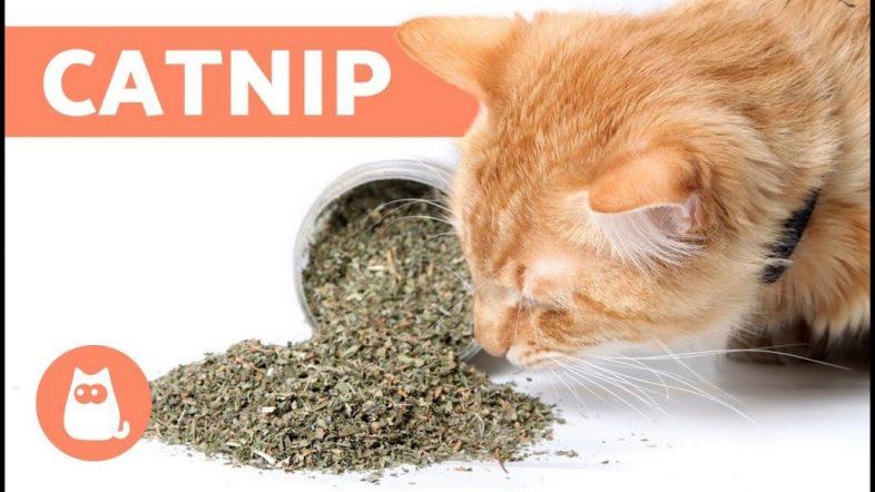 catnip-1024x576-1
