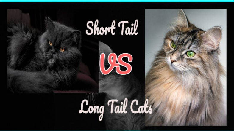 long-tail-versus-short-tail-cats-1024x576-1