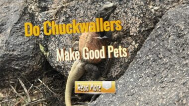 Do-chuckwallers-make-Good-pets-1024x576-1