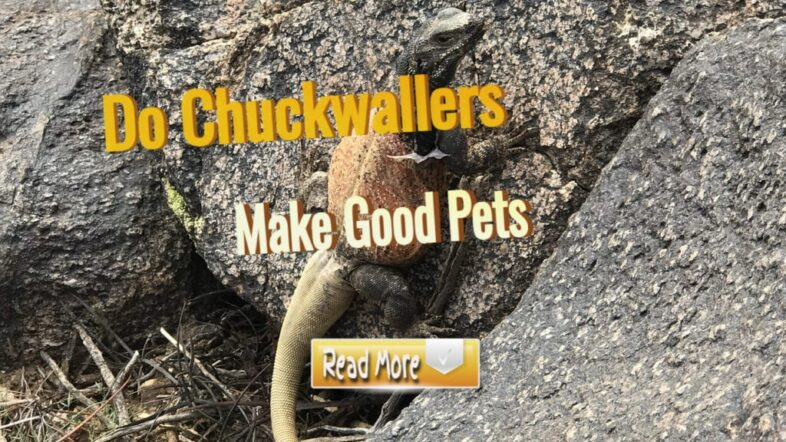 Do-chuckwallers-make-Good-pets-1024x576-1