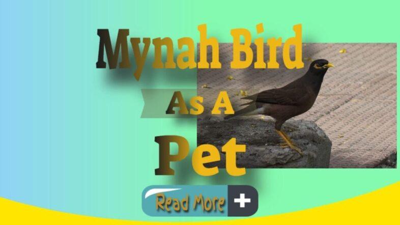 mynah-bird-as-a-pet-thumbnail-image-1024x576-1