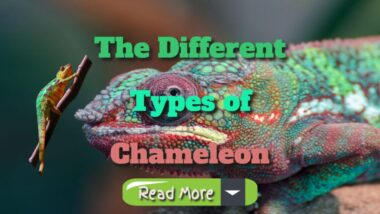 the-different-types-of-chameleons-1024x576-1